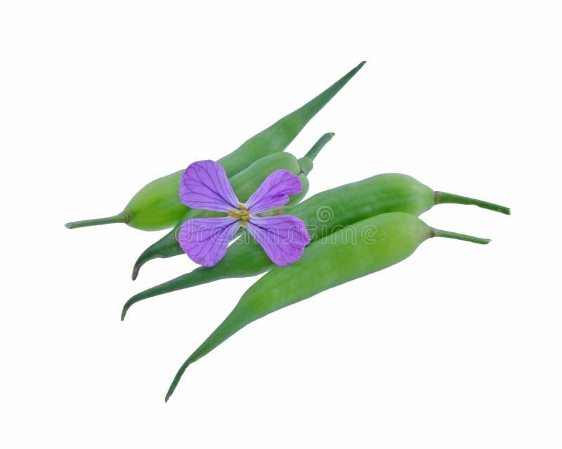 Fiore del ravanello selvaggio con i baccelli del seme fotografie stock libere da diritti