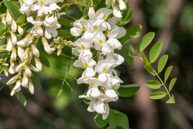 Fiore del robinia pseudoacacia della locusta nera closeup fotografie stock