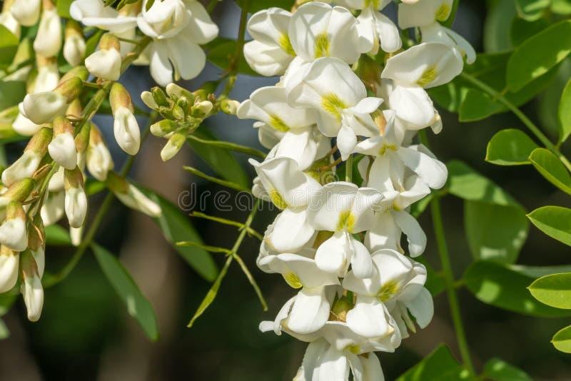 Fiore del robinia pseudoacacia della locusta nera closeup immagine stock