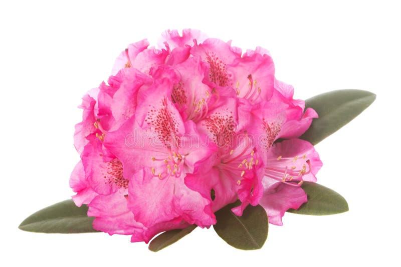 Fiore del rododendro fotografia stock libera da diritti