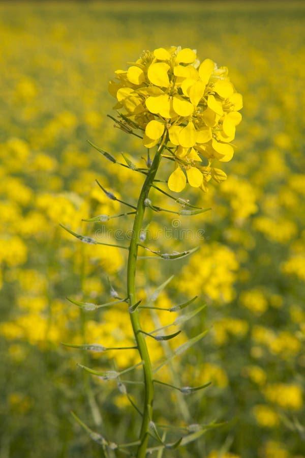 Fiore del seme di senape giallo nel campo immagini stock libere da diritti