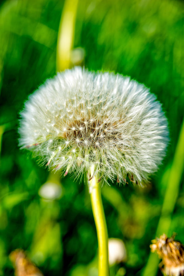 Fiore del soffio su un piccolo prato fotografia stock