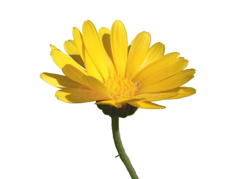 Fiore del tagete fotografia stock