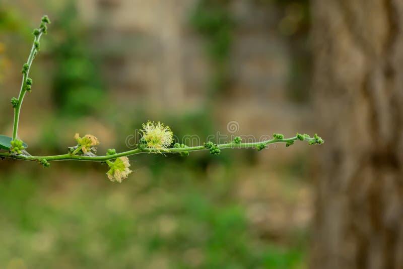 Fiore del tamarindo di Manila fotografia stock libera da diritti