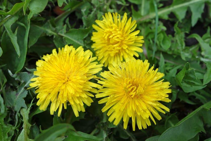 Fiore del Taraxacum nell'erba immagini stock libere da diritti