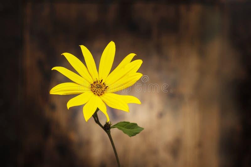 Fiore del topinambur fotografia stock libera da diritti