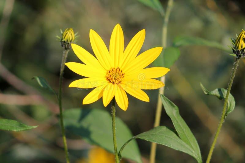 Fiore del topinambur o di helianthus tuberosus immagine stock