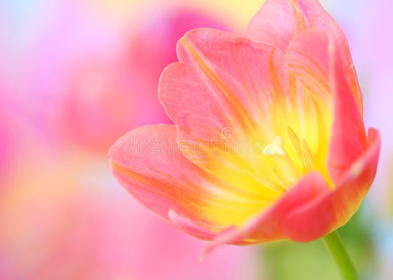Fiore del tulipano immagini stock