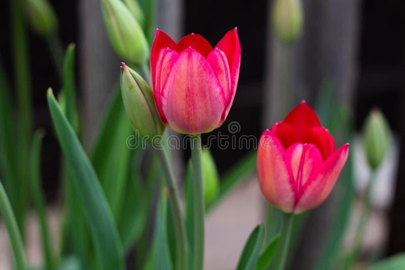 Fiore del tulipano con il fondo verde della foglia, giardino della molla immagine stock