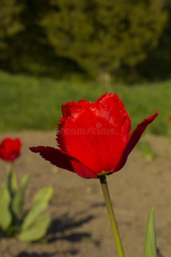 Fiore del tulipano guarnito rosso immagine stock