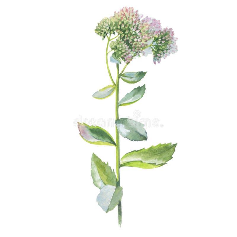 Fiore del Wildflower Livelong in uno stile dell'acquerello isolato fotografia stock libera da diritti