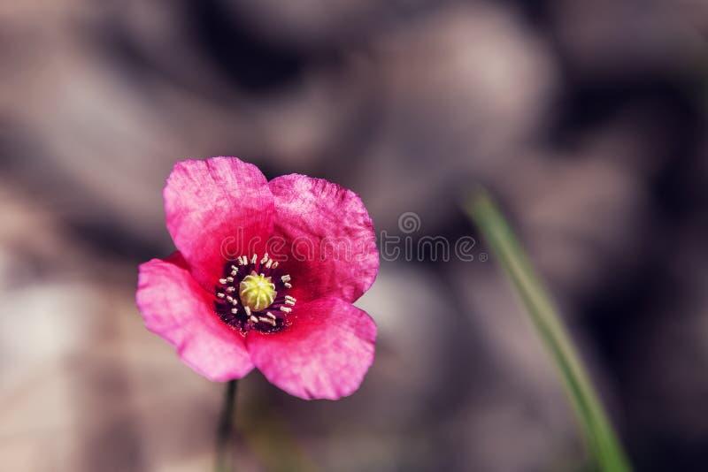 Fiore delicato del papavero in un campo sulla natura al sole su un fondo leggero Petali delicati aerei di un papavero e di un ver immagini stock libere da diritti