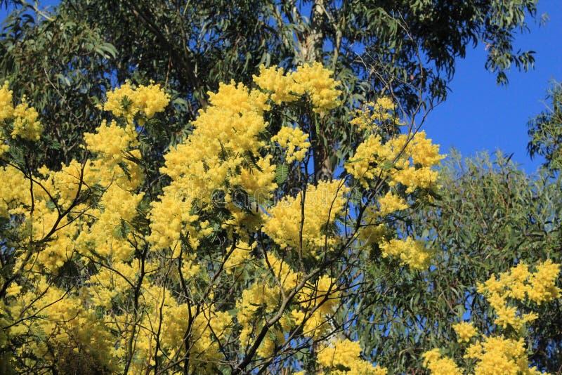 Fiore dell'acacia fotografie stock