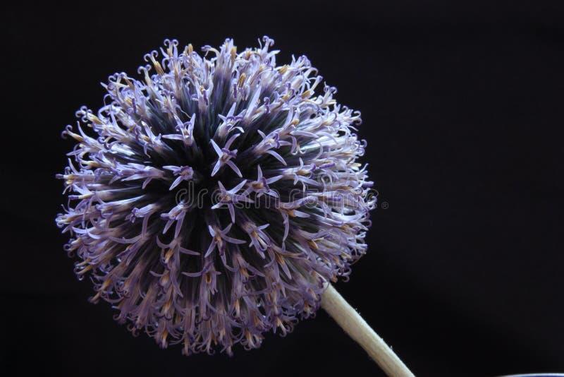Fiore dell'aglio su un fondo nero fotografia stock