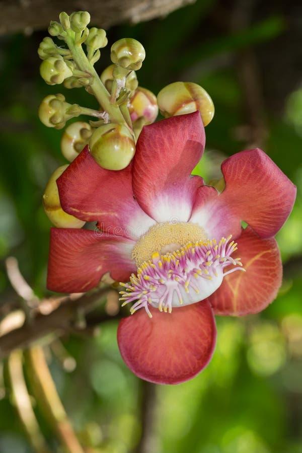 Fiore dell'albero della palla di cannone (guiata di Couroupita) fotografie stock