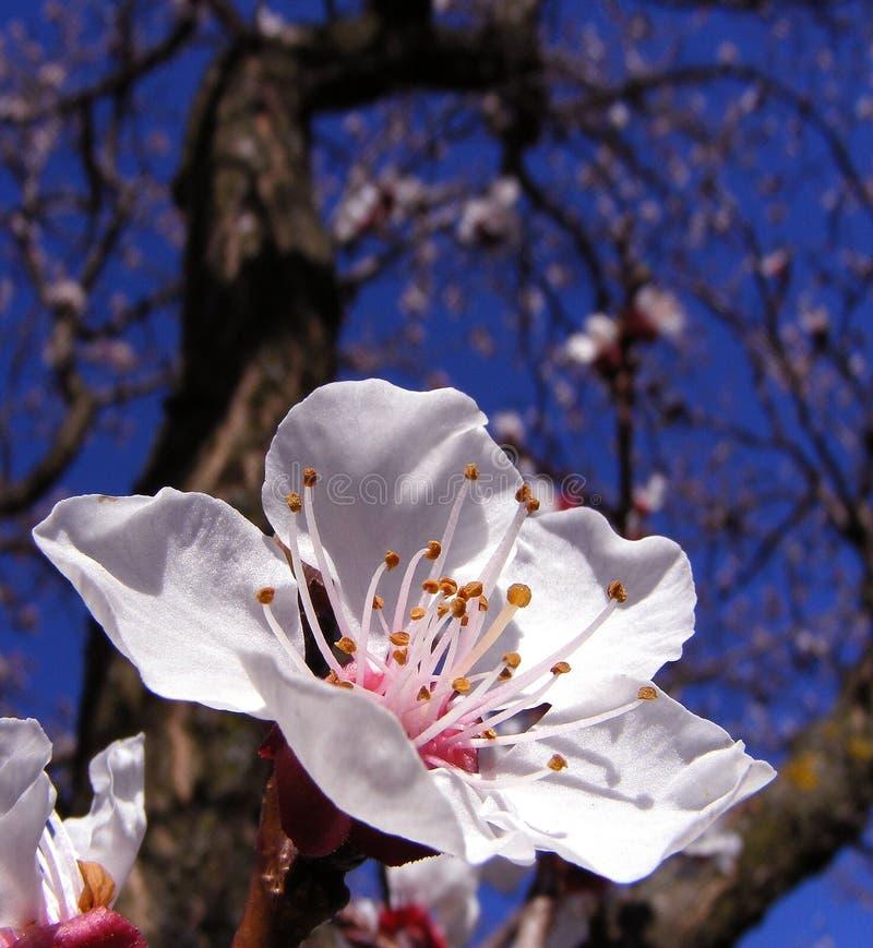 Fiore dell'albero della sorgente fotografie stock
