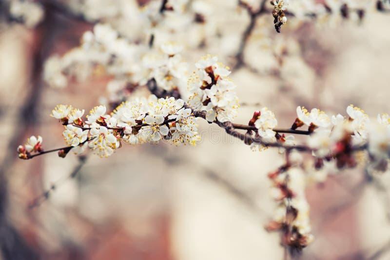 Fiore dell'albero di albicocca fotografie stock