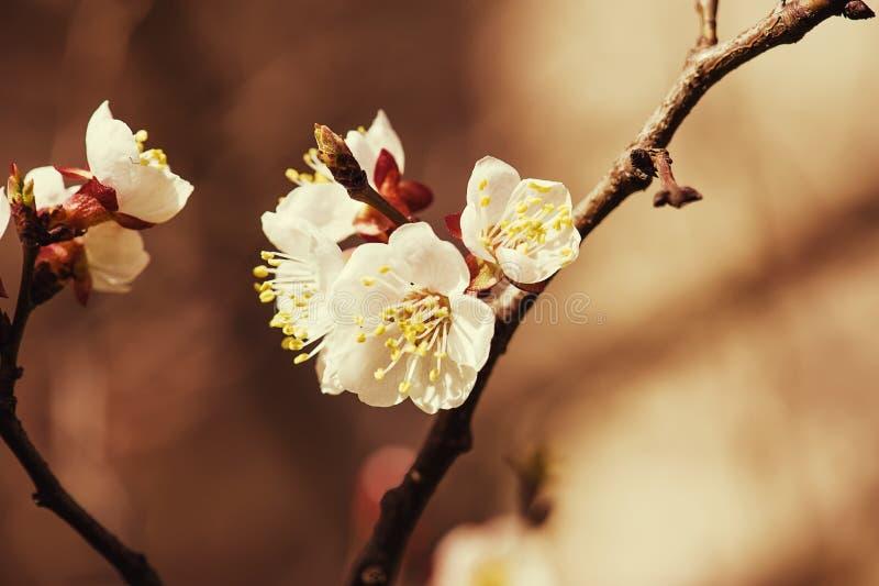 Fiore dell'albero di albicocca fotografia stock libera da diritti