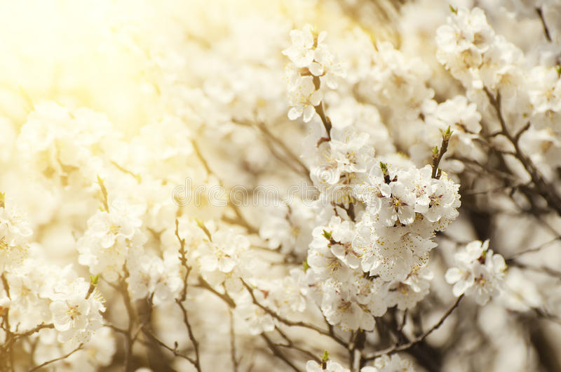 Fiore dell'albero di albicocca fotografie stock libere da diritti