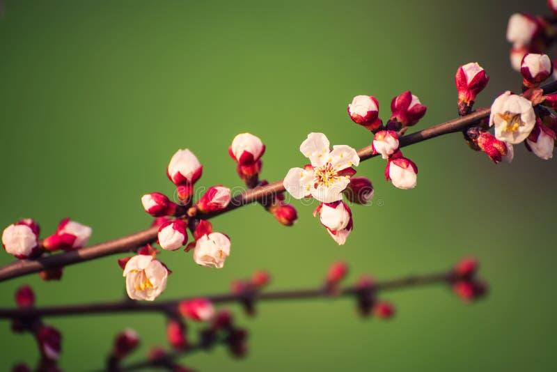 Fiore dell'albero di albicocca immagini stock