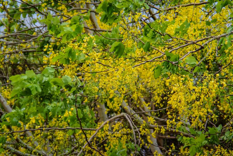 Fiore dell'albero di doccia dorata, maggiociondolo indiano fotografia stock