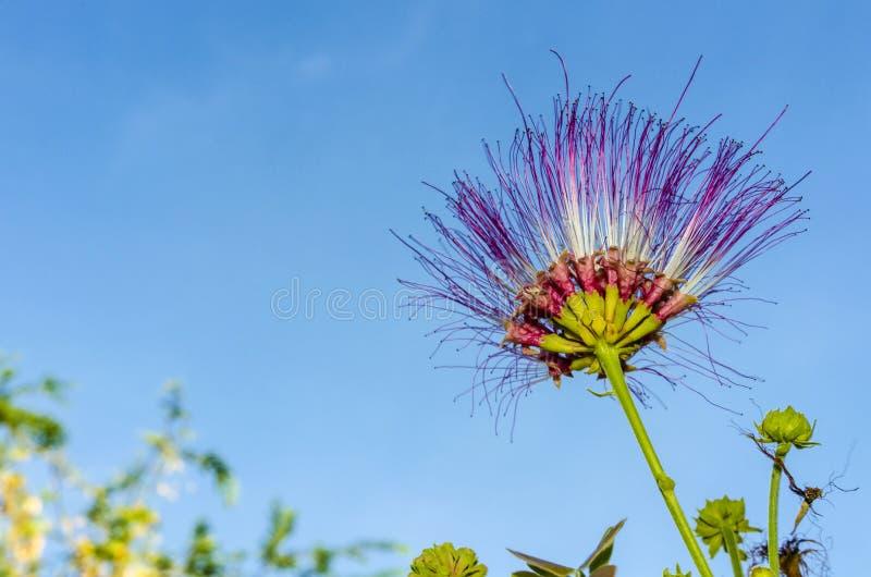 Fiore dell'albero di pioggia fotografie stock
