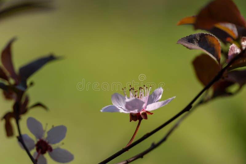 Fiore dell'albero di Pissardii di prunus cerasifera con i fiori rosa Ramoscello della primavera della ciliegia, prunus cerasus immagine stock libera da diritti