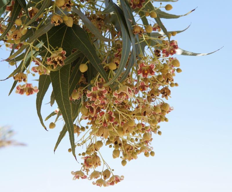 Fiore dell'albero di populneus del Brachychiton fotografie stock libere da diritti