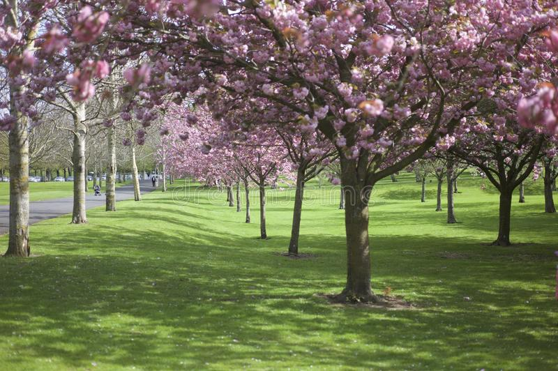 Fiore dell'albero in parco fotografia stock libera da diritti
