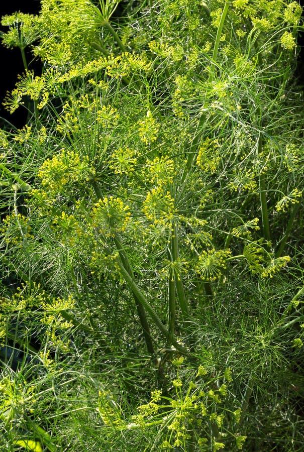 Fiore dell'aneto Fiore dell'ombrello di un aneto della pianta dell'erba del giardino immagine stock