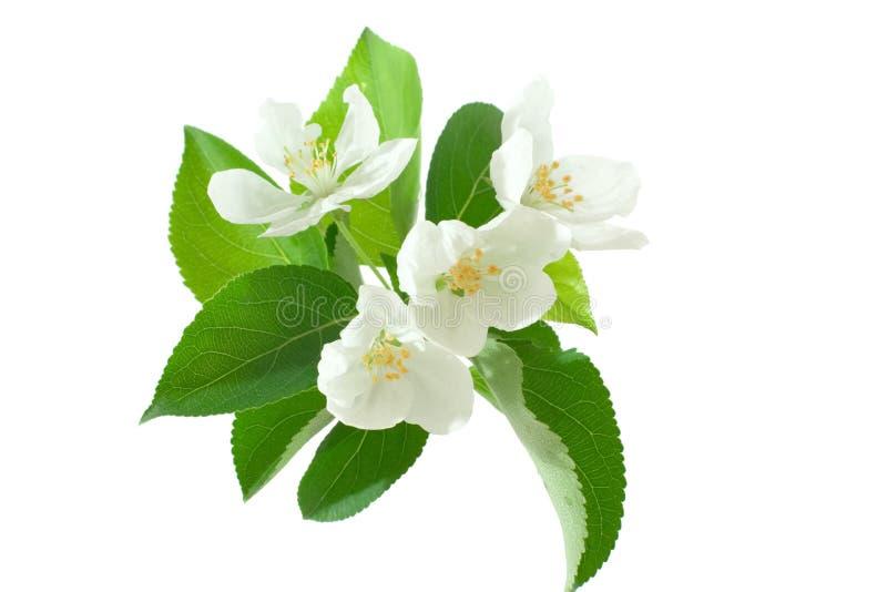 fiore dell'Apple-albero immagini stock libere da diritti