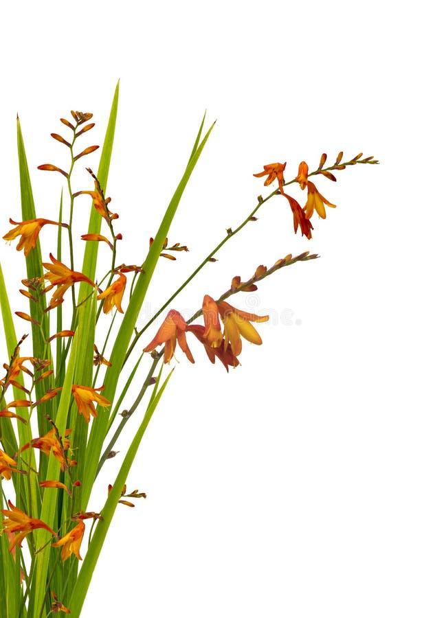 Fiore dell'arancia di Crocosmia immagini stock libere da diritti
