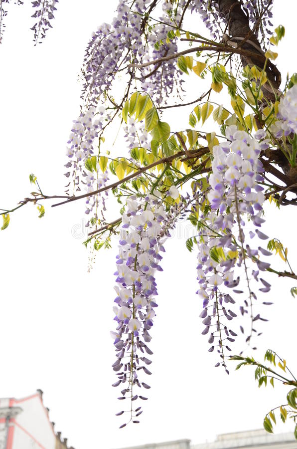 Fiore dell'asiatico del fiore fotografia stock