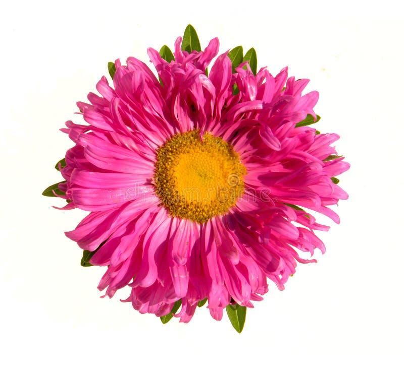 Fiore dell'aster immagine stock