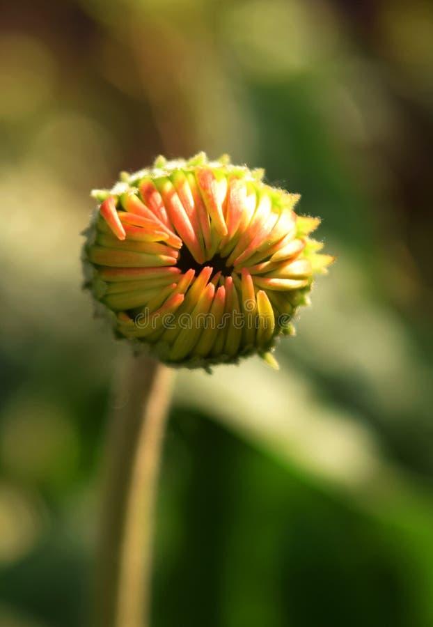 Fiore dell'aster immagini stock