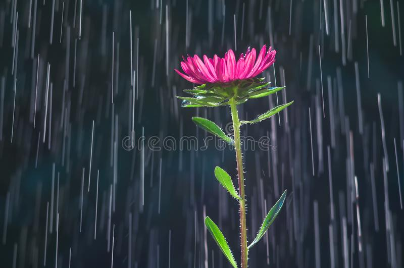 Fiore dell'aster sulle piste del fondo delle gocce di pioggia fotografia stock