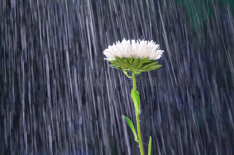 Fiore dell'aster sulle piste del fondo delle gocce di pioggia fotografie stock