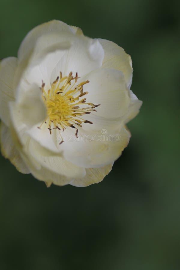 Fiore dell'avorio fotografia stock libera da diritti