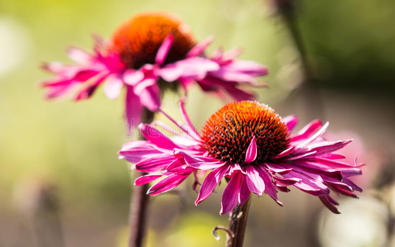Fiore dell'echinacea fotografia stock