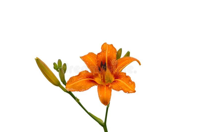 Fiore dell'emerocallide su un fondo bianco isolato fotografie stock libere da diritti