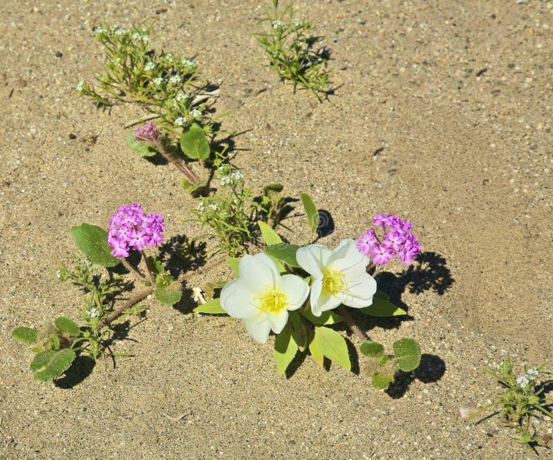 Fiore dell'enagra della duna immagini stock libere da diritti