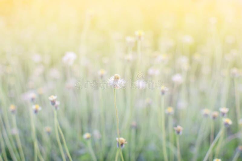 fiore dell'erba del De-fuoco sul prato alla molla del fondo della natura di luce solare fotografie stock libere da diritti