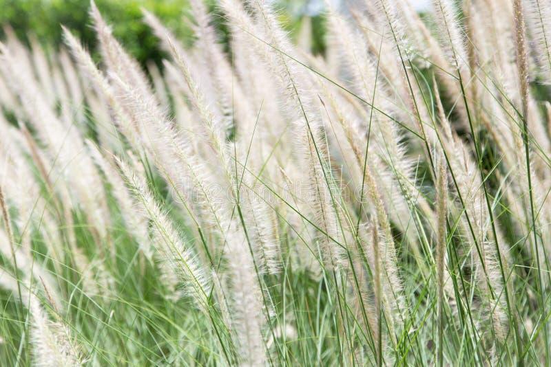 Fiore dell'erba della coda della volpe fotografie stock