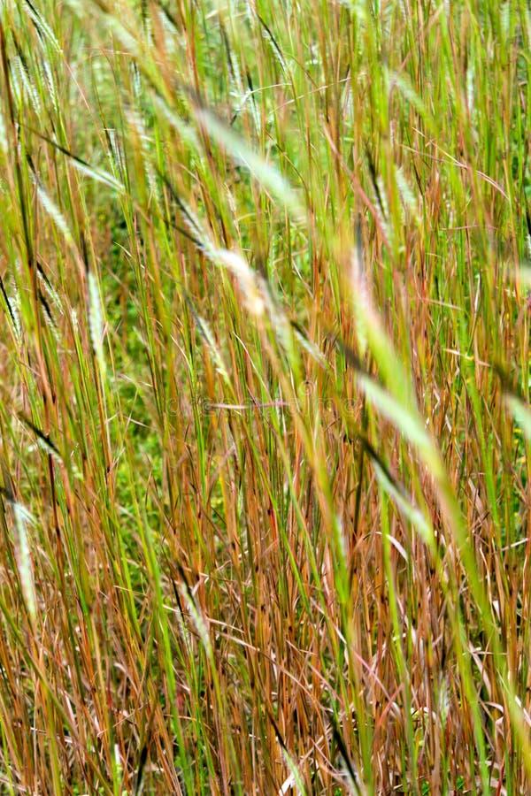 Fiore dell'erba della testa di groviglio nel vento fotografia stock