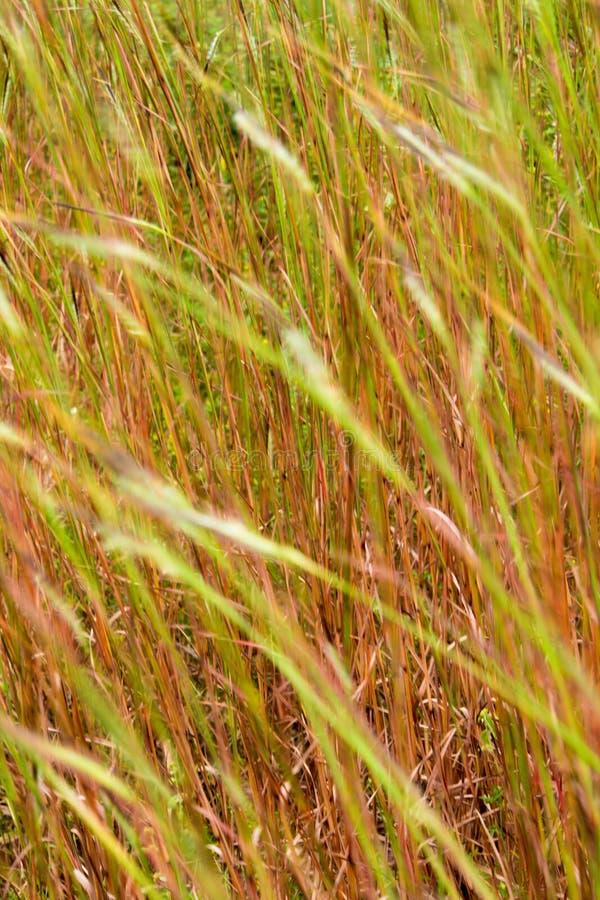 Fiore dell'erba della testa di groviglio nel vento fotografia stock libera da diritti