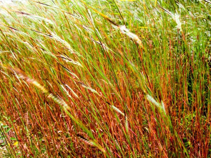 Fiore dell'erba della testa di groviglio nel vento fotografie stock