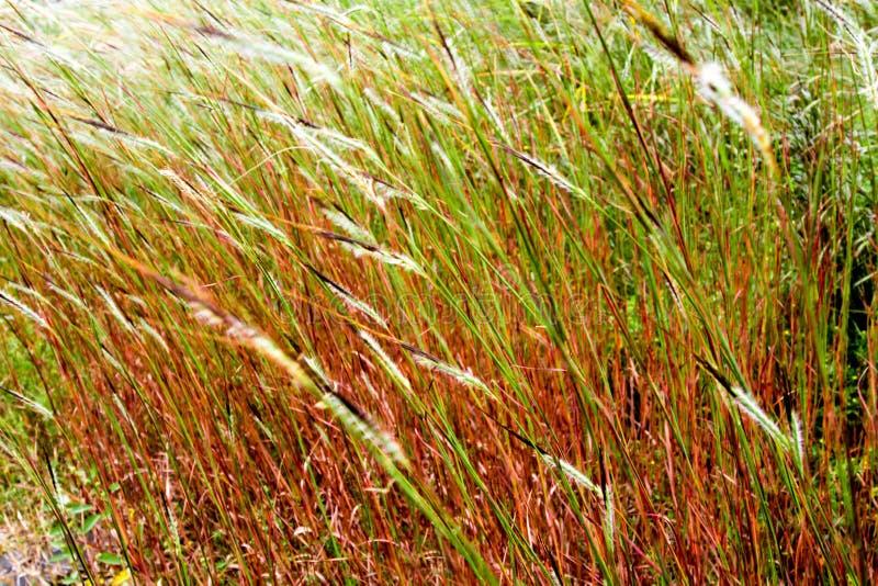 Fiore dell'erba della testa di groviglio nel vento immagine stock
