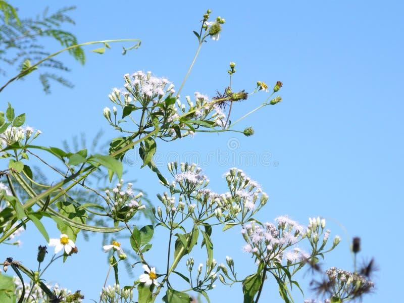 Fiore dell'erba di Camfhur immagine stock
