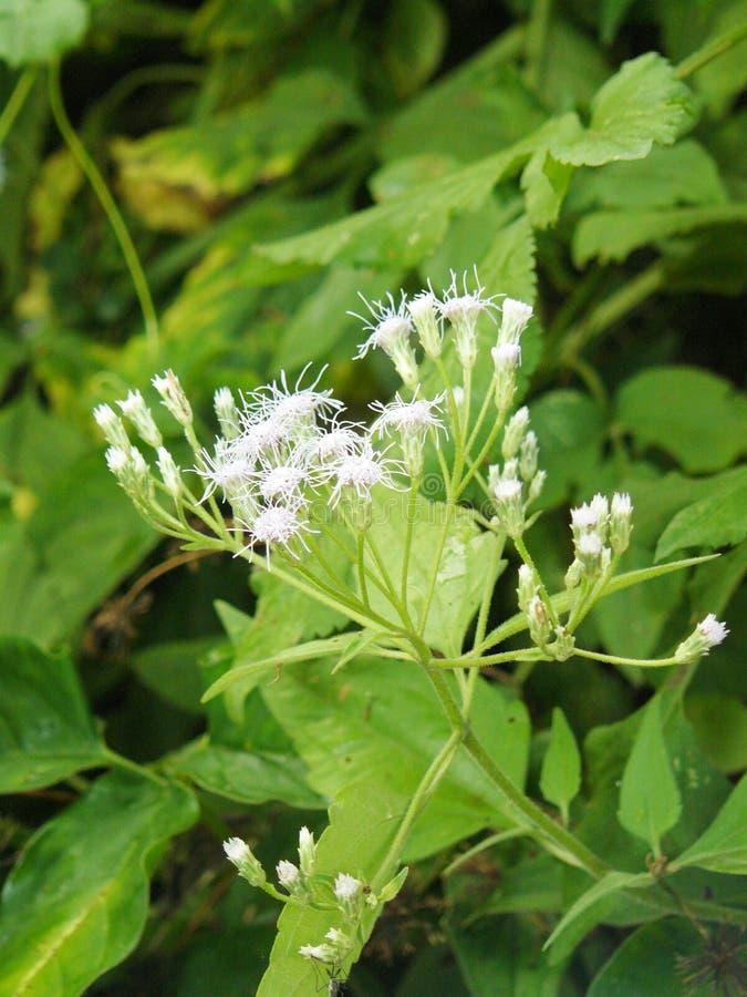 Fiore dell'erba di Camfhur o erbaccia del Siam fotografia stock