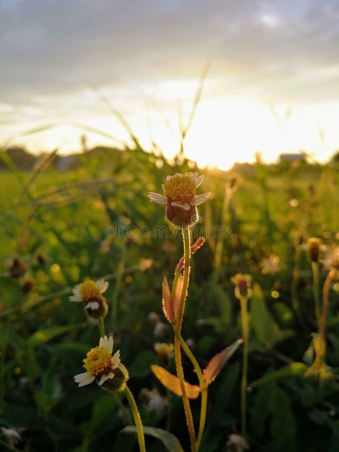 Fiore dell'erba nell'ambito di luce solare fotografia stock